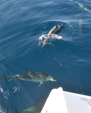 private dolphins watching funchal
